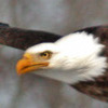 Click here & Play to Bald Eagle Jigsaw Puzzle the online game !