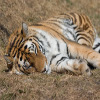 Click here & Play to Jigsaw: Sleeping Tiger the online game !