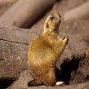 Click here & Play to Jigsaw_Gopher the online game !