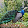 Click here & Play to Peacock Jigsaw Puzzle the online game !
